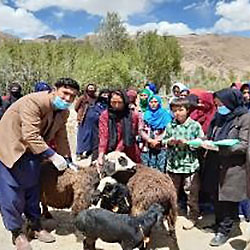 Sheep vaccination and distribution in one of the target area, © FAO